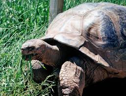 giant tortoise rapid city attraction reptile gardens