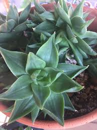 pistils rx how to care for succulents and cacti troubleshooting