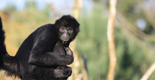 exciting news about our work to save black headed spider monkeys