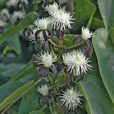 Tropical Fragrant Plants - tropical clematis clematis smilacifolia fragrant plants