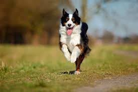 6 week australian shepherd australian shepherd dog breed information pictures