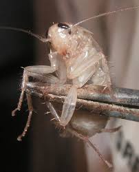 albino roach bug guide pest pro