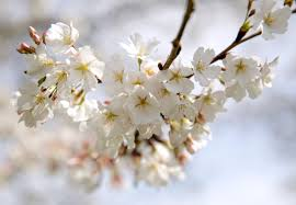 cherry blossom tree facts 5 things you didn t know about the cherry blossoms pbs newshour