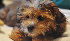shi poo shihpoo dog breed information