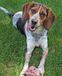 bluetick coonhound lab mix puppies for sale toby the beagle coonhound mix dogs daily puppy