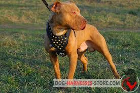 american stanford terrier y american pitbull terrier studded walking american pitbull terrier harness h15 1092