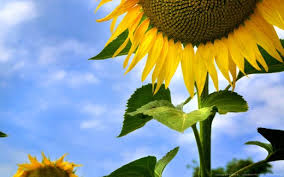 sunflower wallpapers 30 beautiful free sunflower wallpapers colorlava
