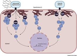 nod1 and nod2 beyond peptidoglycan sensing trends in immunology