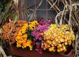 fall flowers annuals for your garden garden club