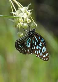 blue tiger butterfly butterfly host plants as seen on abc