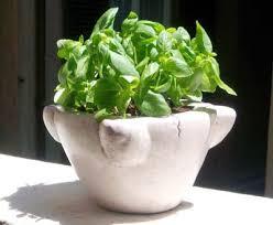 basilico in vaso malattie bentornato basilico marirò