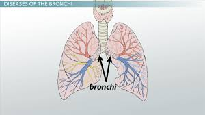 bronchi anatomy function u0026 definition video u0026 lesson