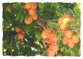 Ackee Fruit Tree - ackee explore ackee on deviantart