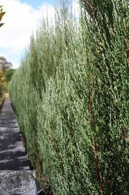 winter hill tree farm trees for narrow spaces
