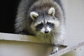 raccoon rescue and rehabilitation resurgence u2013 survive and thrive