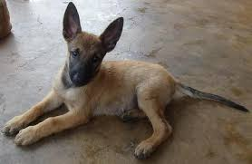 belgian shepherd dog malinois belgian shepherd malinois puppies sold 5 years 4 months belgian