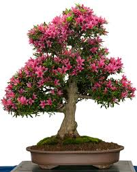 grow a bonsai tree online guide on how to grow a bonsai tree