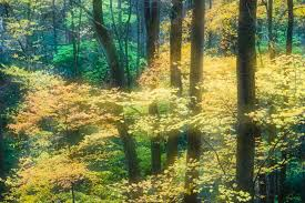 Maple Tree Symbolism by A Symbol In Language And Literature
