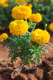 african native plants tagetes wikipedia