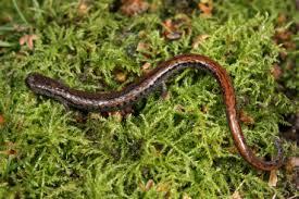 salamander k che hibian all you need is biology