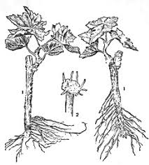 Vegetative Propagation By Roots - plant reproduction by cuttings and layering artificial vegetative