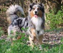 australian shepherd water australian shepherd u2013 smart working dog a natural natural and dogs