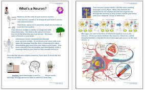 how the nervous system works worksheet free worksheets library