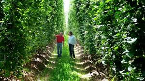 hops from hallertau for the world s best beers youtube