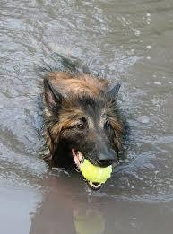 belgian sheepdog puppies for sale in california 12 best belgian tervuren images on pinterest animals belgian