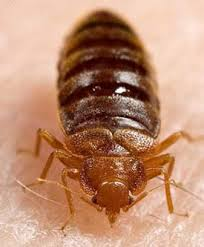 Bed Bug Exterminator Detroit Nj Bed Bug Resources Bed Bug Information Bedbug Solutions Nj