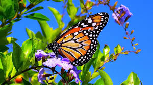 spring flowers and butterflies wallpapers hd desktop and mobile