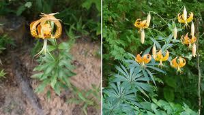 turks cap carolina or s cap identify that plant