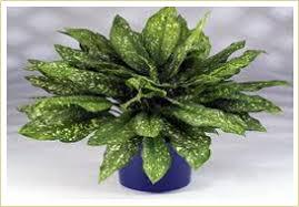 indoor plants india indian nursery indoor plants aglaonema anthurium aphelandra