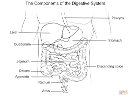 human digestive system coloring page for coloring page glum me