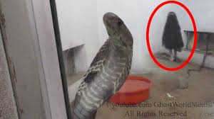 spirit halloween videos scary ghost videos real ghost caught on tape in the snake cage