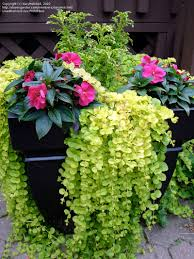 Outdoor Planter Ideas by Outdoor U0026 Garden Design Wonderful Creeping Jenny For Awesome Lawn