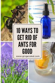 10 ways to get rid of ants for good gingeraled