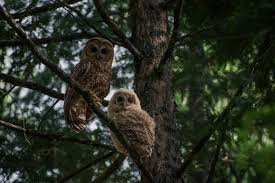 decades past logging still threatens spotted owls in national forests