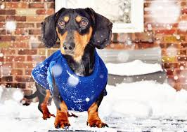 Dog Sweaters and Coats 5 Kinds of Dogs Who Need Them