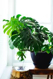 best 25 zz plant care ideas on pinterest easy plants grow