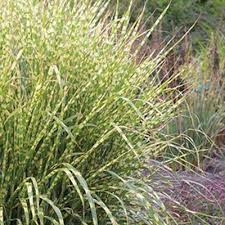 drought tolerant ornamental grasses garden plants flowers