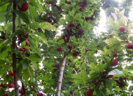 fruit tree wikipedia