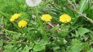 Types Of Weed Plants In The Garden Amazing Common Garden Weeds Images Garden And Landscape Ideas