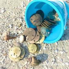 Where To Buy Sand Dollars How To Identify Differences Between Live And Dead Sand Dollars I
