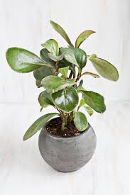 rubber plant ficus elastica and how to take care of this low