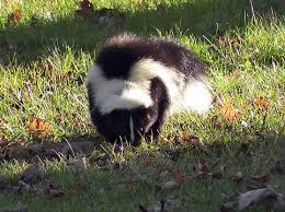 How Do You Get Rid Of Skunks In Your Backyard Well That Stinks What To Do When Your Dog Gets Sprayed By A