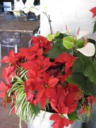 poinsettia care through winter and beyond hgtv