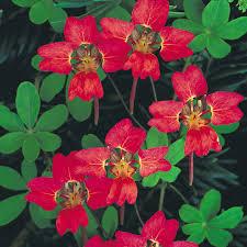 tropaeolum tricolor also known as pajarito relicario o