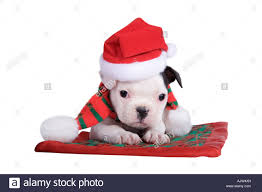 french bulldog puppy with christmas hat and scarf on plaid blanket