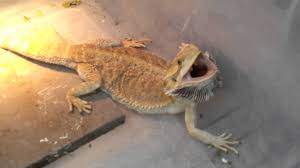 worlds most aggressive bearded dragon youtube